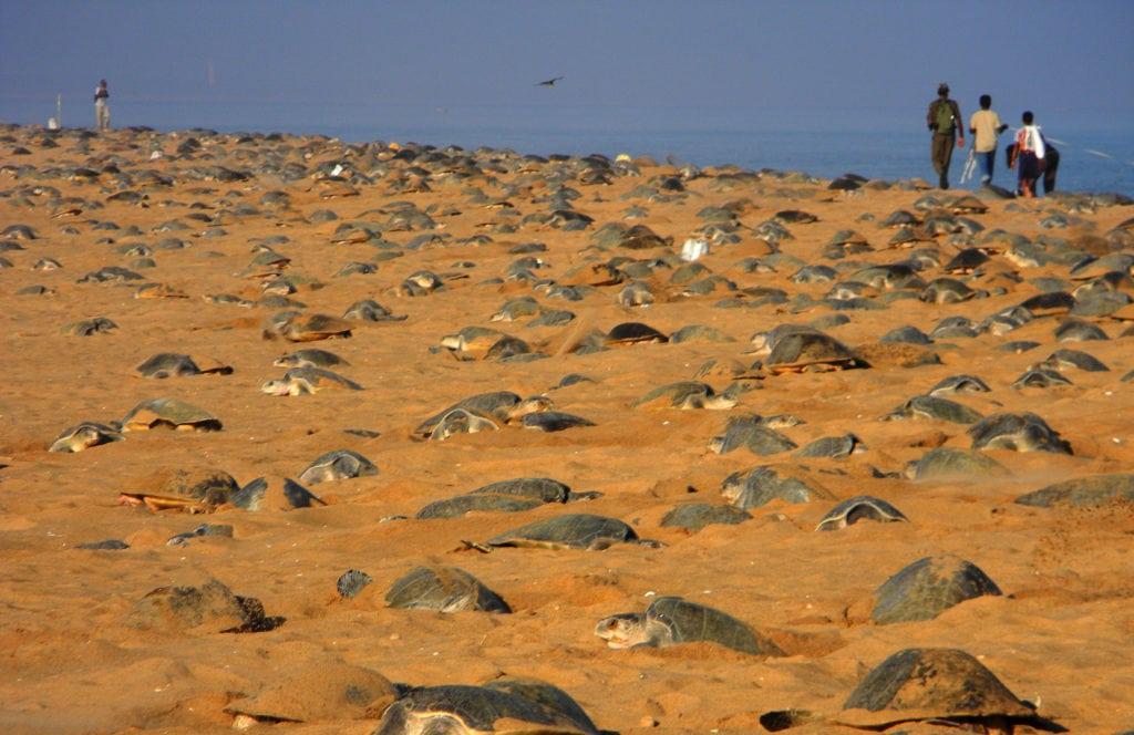 Mass nesting February, 2013. Photo: Bipro Behera