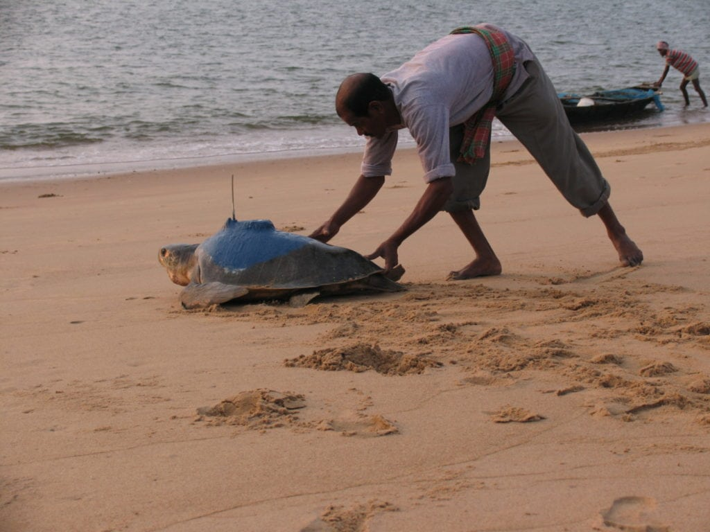 Dhambru assisting the male turtle towards the sea. Photo Credit: Muralidharan M